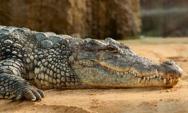 nile-crocodile-245013_960_720